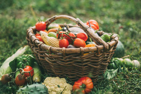 Various organic vegetables in a old basket in the garden, harvesting. Healthy products.