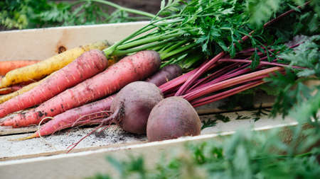 Carrots and beets in a wooden box in the garden. Organic vegetables. Harvest. Reklamní fotografie