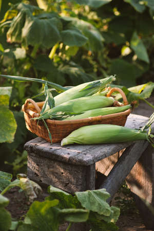 Fresh corn in the basket on a wooden table