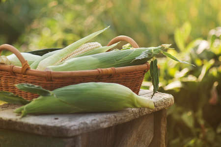 Fresh corn on cobs in the basket on a wooden table.