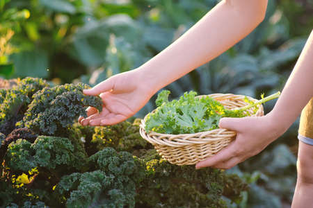 Young woman picking crops kale in vegetable garden. Outdoors. Gardening.