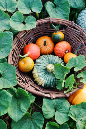 Different pumpkins in a large wicker basket in the garden