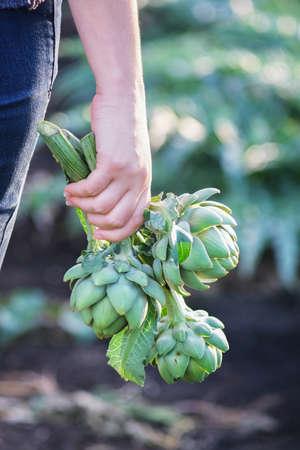 Woman holds freshly cut artichokes. Organic vegetables.