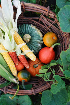 Different pumpkins and corn in a large wicker, outdoors.