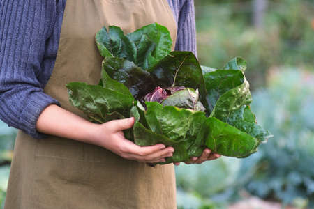 Woman holding homegrown fresh Radicchio, open air. Autumn food background.
