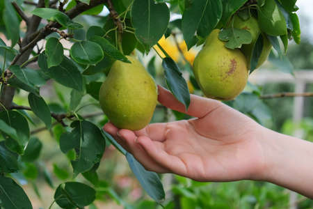 Woman plucks ripe pears from a tree, close up. Stock fotó - 156155940