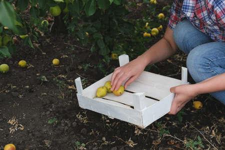 Gardener picking crops pears in vegetable garden