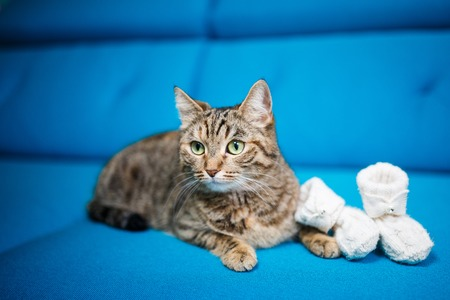 purebred short-haired cat on a blue sofa, white baby booties Stock Photo