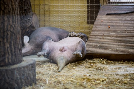 wildanimal: the aardvark resting lying on your back with raised legs up. Funny animal in the zoo Stock Photo