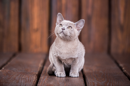 breed of European Burmese cat, gray, sitting on a brown wooden background and looking up