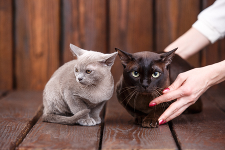 razas de personas: kitten and adult cat breed European Burmese, father and son sitting on wooden background. Grey and brown, chocolate color
