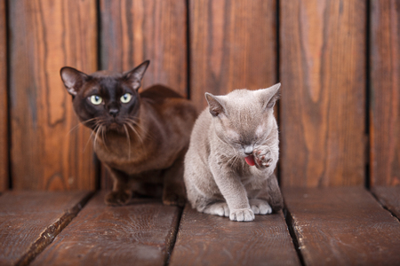 kitten and adult cat breed European Burmese, father and son sitting on wooden background. Grey and brown, chocolate color