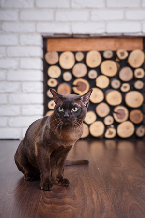 cat brown, chocolate brown with large green eyes on the wooden floor on dark background white brick wall and fireplace with wood in the interior of the house