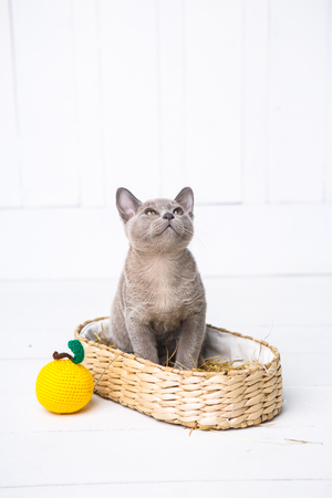 kitten gray breed, the Burmese is sitting in a wicker basket. Next toy crocheted in the form of fruit. White wooden background.