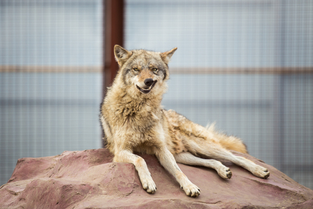 olfaction: Gray wolf lying on the rock. Funny with a twisted muzzle Stock Photo