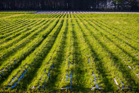 A field with rows of strawberries is a top view. Agriculture for growing berries