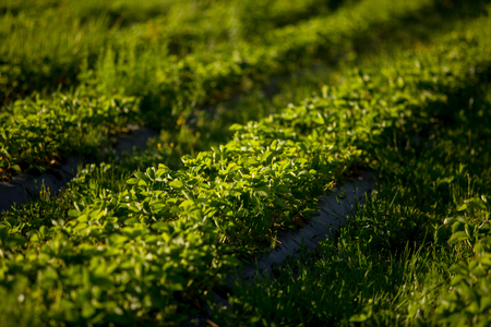 Rows of Strawberry plants in a strawberry field. Farming in the countryside Stock Photo
