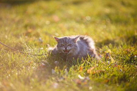 fluffy adult gray cat in green grass with emotion of fright, attack and with open mouth showing fangs Stock Photo