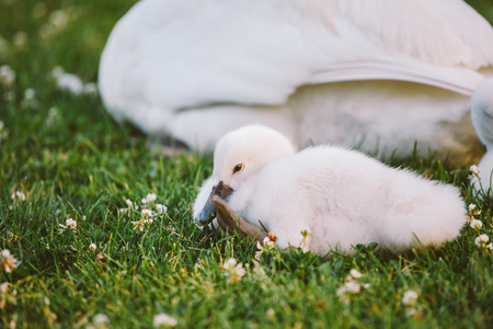 little white baby swan learns to walk on green grass next to her mother Stock Photo