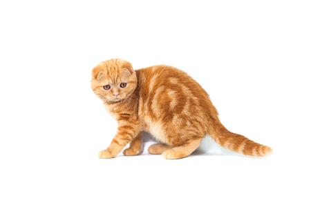 Scottish Fold small baby cat of red color with short hair in stripe with small ears and big full-length eyes on a white isolated background.