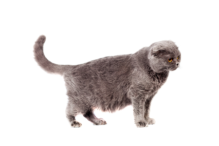 Scottish Fold of gray color gray adult shorthair in full growth stands on paws on a white isolated background