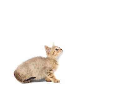 kittens Scotty Straight banner with copy space with place for text on white isolated background.