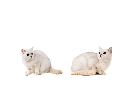 light gray short-haired cat thoroughbred burmilla isolate on white background with place for text. Stock Photo