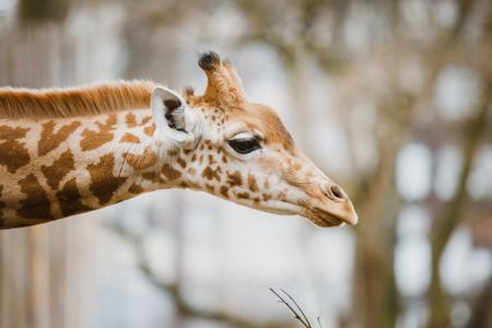 Primer plano, retrato de una jirafa africana africana joven descubrió recientemente en el tiempo nublado, estación fría.
