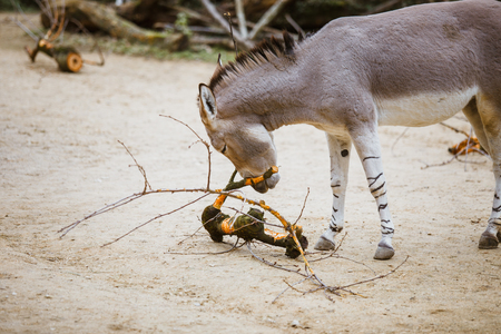 wild ass gray donkey with white stripes eats at the zoo