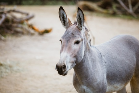 Portrait, head close-up of a wild ass gray donkey with white stripes eats at the zoo 免版税图像