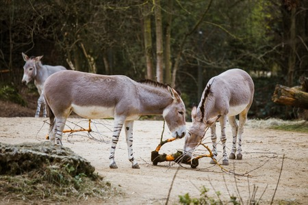 a group of three individuals a wild ass gray donkey with white stripes eats at the zoo