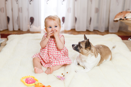 Little funny Caucasian girl the child sits at home on the floor on a light carpet with the best friend of the half-breed dog with spotty color and short hair and funny big ears. Baby is eating cookies and feeding a pet.