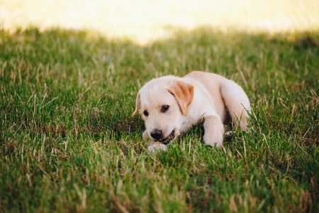 Puppy of a white, pale labrador retriever on green grass in a park in a black collar. Фото со стока