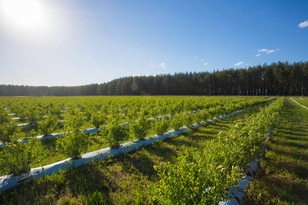 Field of blueberries, bushes with future berries against the blue sky. Farm with berries. Ukraine. Stockfoto