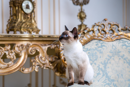 Beautiful rare breed of cat Mekongsky Bobtail female pet cat without tail sits interior of European architecture on retro vintage chic royal armchair 18th century Versailles palace. Baroque furniture.