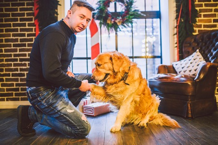 Friendship of man and dog. Pet golden retriever breed labrador shaggy dog. A man trains, teaches a dog to give a paw, to execute commands at home on Christmas.