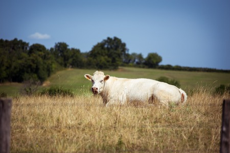 Theme is agriculture and the divorce of cattle. One white cow lies resting on the field in the background of the hills outside the city in a summer village in the Burgundy region in France.