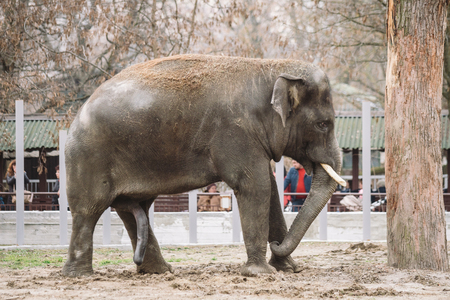 young active african elephant at the zoo. An active herbivore elephant during the rut period, in the spring wants love and is looking for a female. Close-up member of the of a large animal.