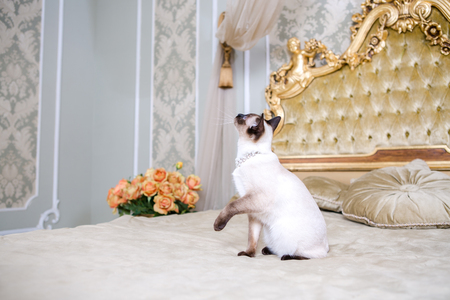 The theme of luxury and wealth. Young cat without a tail purebred bobtail Mecogon is on the big bed headboard near the Renaissance Baroque pillow in France Europe Versailles Palace.