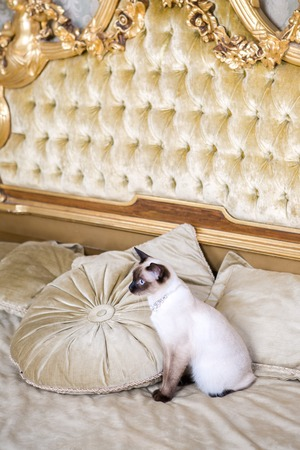 The theme of luxury and wealth. Young cat without a tail purebred bobtail Mecogon is on the big bed headboard near the Renaissance Baroque pillow in France Europe Versailles Palace. Imagens