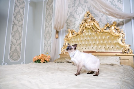 The theme of luxury and wealth. Young cat without a tail purebred bobtail Mecogon is on the big bed headboard near the Renaissance Baroque pillow in France Europe Versailles Palace. Foto de archivo