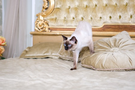 The theme of luxury and wealth. Young cat without a tail purebred bobtail Mecogon is on the big bed headboard near the Renaissance Baroque pillow in France Europe Versailles Palace. Reklamní fotografie - 120690915