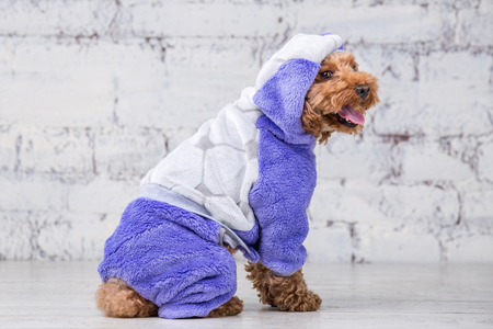 Small funny dog of brown color with curly hair of toy poodle breed posing in clothes for dogs. Subject accessories and fashionable outfits for pets. Stylish overalls, suit for cold weather for animal. 写真素材