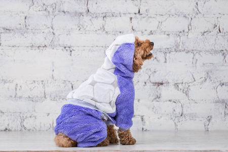 Small funny dog of brown color with curly hair of toy poodle breed posing in clothes for dogs. Subject accessories and fashionable outfits for pets. Stylish overalls, suit for cold weather for animal. 免版税图像