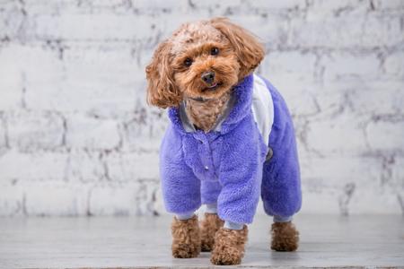 Gracioso perro pequeño de color marrón con pelo rizado de raza caniche toy posando en ropa para perros. Accesorios temáticos y atuendos de moda para mascotas. Monos con estilo, traje para clima frío para animales.