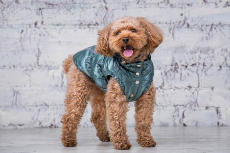Small funny dog of brown color with curly hair of toy poodle breed posing in clothes for dogs. Subject accessories and fashionable outfits for pets. Stylish overalls, suit for cold weather for animal. Reklamní fotografie