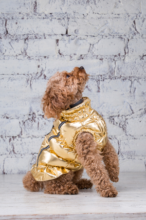 Small funny dog of brown color with curly hair of toy poodle breed posing in clothes for dogs. Subject accessories and fashionable outfits for pets. Stylish overalls, suit for cold weather for animal. Stock fotó
