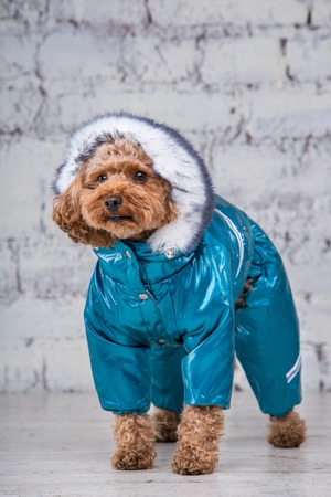 Small funny dog of brown color with curly hair of toy poodle breed posing in clothes for dogs. Subject accessories and fashionable outfits for pets. Stylish overalls, suit for cold weather for animal. Stok Fotoğraf