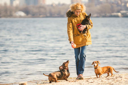Woman plays with dogs. Pets and dogs training and educating dogs. Companion pets concept. Companion pets concept. dog lover.Caucasian lady with three dogs breed dachshund and hands toy terrier.