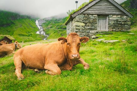 Funny brown cow on green grass in a field on nature in scandinavia. Cattle amid heavy fog and mountains with a waterfall near an old stone hut in Norway. Agriculture in Europe.